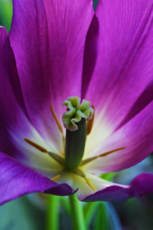 Tulip flower close up beautiful macro photography Stock Photo - 119230194