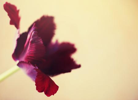 Tulip flower close up beautiful macro photography Stock Photo