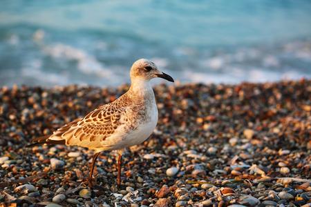 Sea gull on stone beach of Aegean sea close up photo Stock Photo