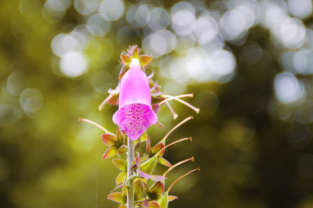 Foxglove flower plant close up beautiful photo