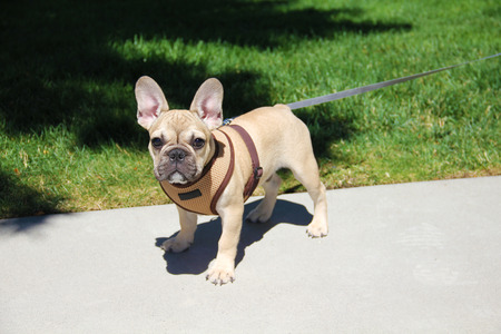 Funny beautiful little dog breed bulldog in the park outside for a walk Stock Photo