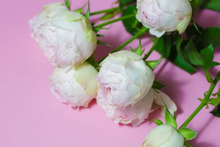 Beautiful pink roses close up macro flowers photo