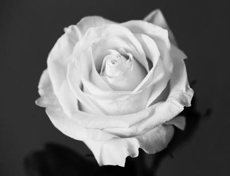 White rose beautiful flower close up macro photo