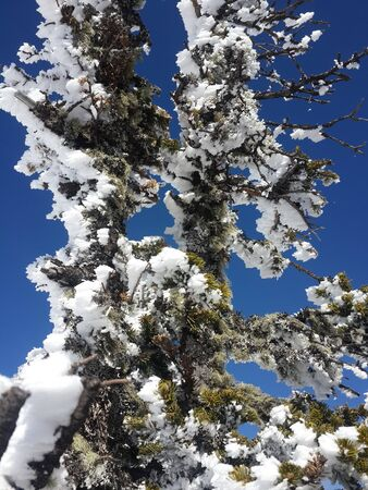 Winter fairytale view - snowy coniferous branches, bright sun and snowy spruce, branches covered with flakes of hoarfrost. White fluffy firs against the blue sky create a magical mood. Vertical photo close-up. Stok Fotoğraf