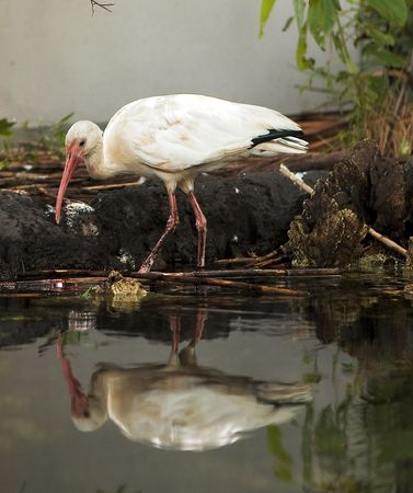 photograph of an American White Ibis wading in a beautiful shallow stand of water Banco de Imagens