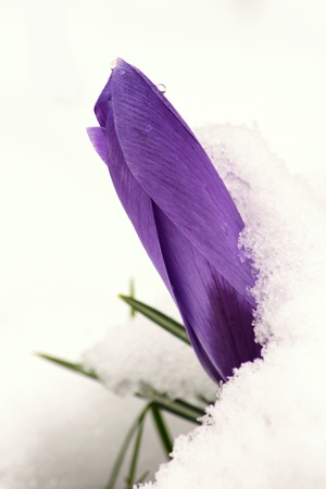 Crocus breaking through the snow  Stock Photo - 17724189