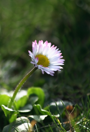 Single backlit daisy on grass Stock Photo - 21627693