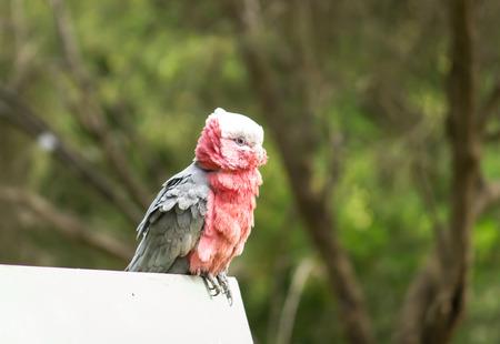 native bird: A galah, un ave nativa de Australia de tomar un descanso en una valla