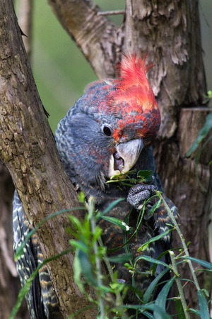 native bird: Gang Gang cacat�a un ave nativa de Australia disfrutando de sus hojas