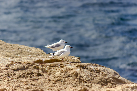 blustery: Seagulls on a windy cliff near Warrnambool
