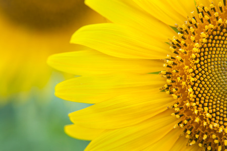 semillas de girasol: Girasol cerca. girasoles amarillos brillantes. Fondo del girasol. Foto de archivo