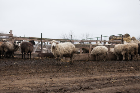 midst: a herd of sheep in the midst of dirty farming