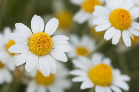 pâquerette: camomiles Blanc. marguerites blanches. Un buisson de marguerites blanches dans un champ solaire. amomiles sur le terrain.