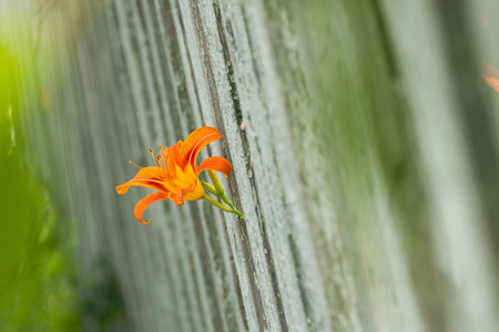 orange lily: Garden orange lily. Orange lily. Blossoming of a lily. Gray garden fence.