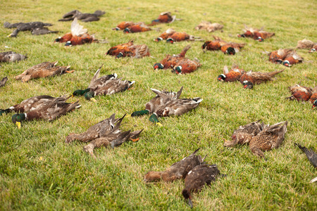 game bird: Apportion of hunting trophies. An apportion of the bird game on hunting. A brace of pheasants and duck after the hunt.