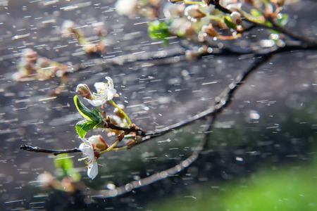 Spring rain. Spring blossoming of an apple-tree. Spring blossoming of cherry. The blossoming apple-tree. The blossoming apricot. Rain on long exposure. Stock Photo