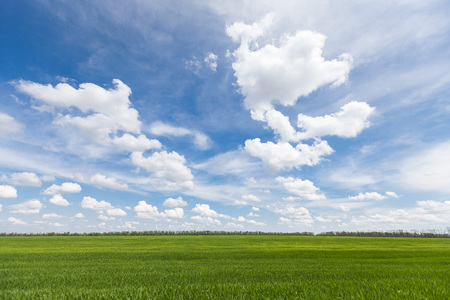 green wheat: Backdrop Of Green Wheat Ears Field On Cloudy Blue Sky Background. Spring Season. Field of young wheat.