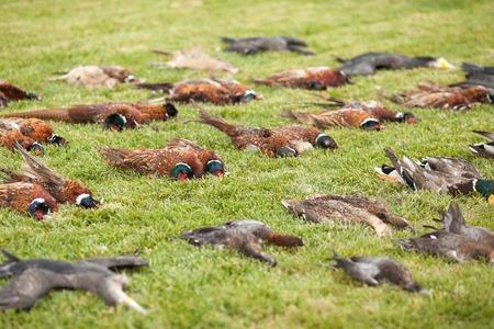 Verdelen van jachttrofeeën. Een verdelen van de vogel spel op jacht. Een brace van fazanten en eenden na de jacht.