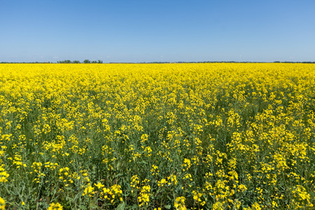 Rapeseed field. Rapes on the field in summer. agriculture concept. empty space for the text. Stock Photo