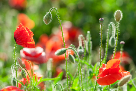 Nature, spring, blooming flowers concept - close-up on the stems and flowers of flowering poppies in the field, macro with green grass background