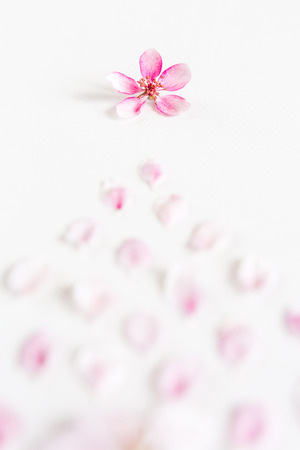 close up of light and soft petals of sakura on white background. Concept of love. feeling of spring. Flat lay. Stock Photo