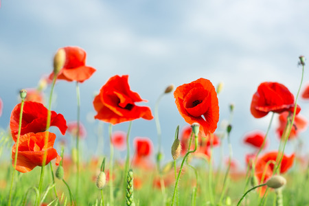 Nature, spring, summer, blooming flowers concept - close-up on flowering red poppies in the field, a sunny spring day with blue sky and clouds background.