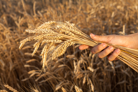 agriculture, harvesting, farming concept. rough hand of caucasian man with short nails keeping not very big bunch of shining golden wheats of corn full of mellow cereal grain seeds