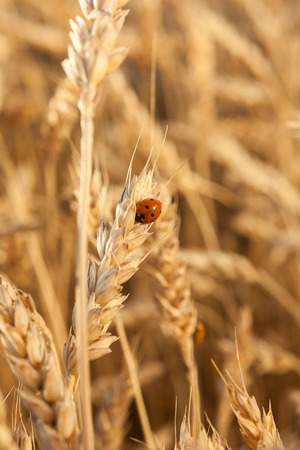 agriculture, environment, piece concept. little beautiful insect, pleasing to the eye, cut red ladybug with few black dots climbing up yellow ear of the mellow rye Stock Photo