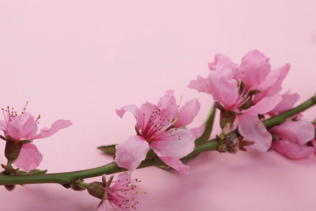womanhood, environment, spring concept. close up of great buds that are blooming on the brunch of oriental cherry, placed on the background of light pink colour Stock Photo