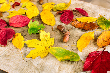 season, crop, country concept. brown nuts with funny so called hats, picked up from oak, lied up among the leaves of all autumn shades, red, crimson, yellow, orange, brown and still green Stock Photo
