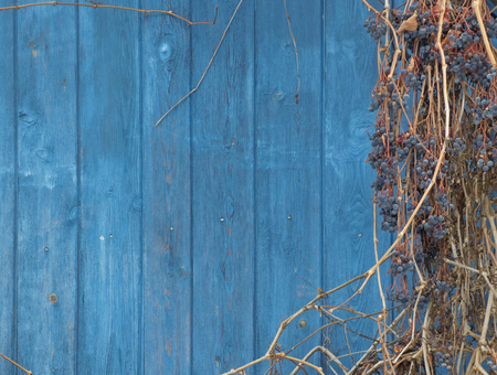 Old wooden wall painted in navy blue. With stale brown branches and dry grapes. Retro styled surface. Natural background.