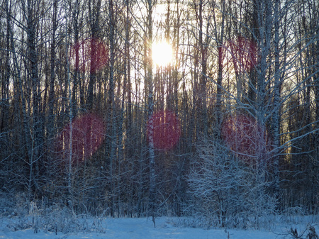 White winter forest. Lot of snow on the ground and tall frozen trees. Sun glow among branches. Siberia, Russia.