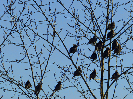 Flock of waxwings sitting on the trees. Birds and branches silhouettes on blue cloudy background.