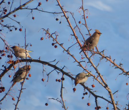 Flock of waxwings sitting on the trees among dry rowan berries . Birds and branches silhouettes on blue cloudy background. Sunny winter day.
