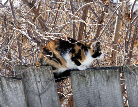 Three-colored cat sitting on wooden fence with barbed wire. Fat pet hiding among naked branches. Sunny winter day. Reklamní fotografie