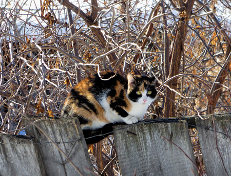 Three-colored cat sitting on wooden fence with barbed wire. Fat pet hiding among naked branches and looking at camera. Sunny winter day.