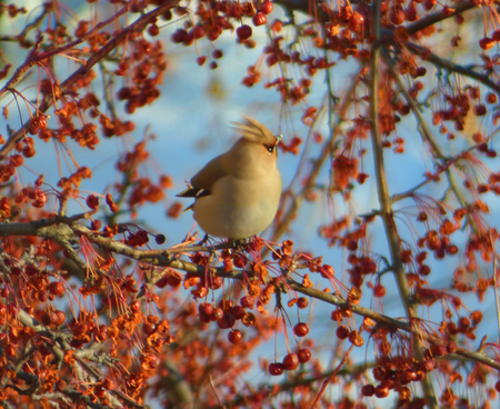Bohemian waxwing (Bombycilla garrulus) hiding among branches of rowan. Blue sky at the back. Chubby little bird sitting on tree with lot of dry berries. Sunny winter day.