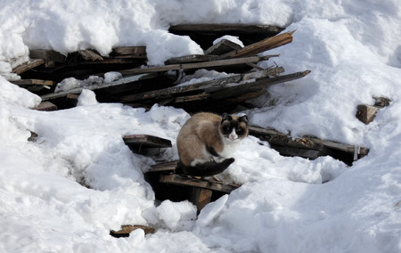 Siamese cat sitting on old broken boards among snow. Homeless animal and heap of wooden planks. Pet on black and white Stock Photo