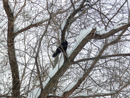 Big black wild crow among branches in the park. Fat dark bird on the tree. Cloudy winter day, snow around. Stock Photo