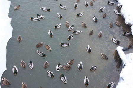 Lot of male and female ducks in water. Wild birds swimming in cold gray river.