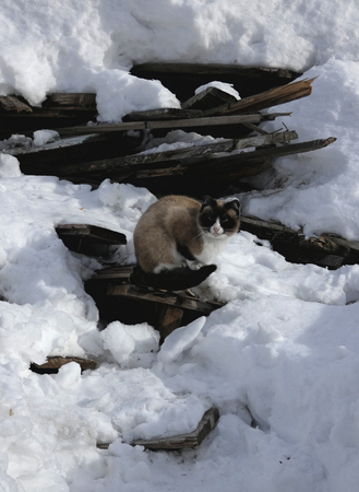 Siamese cat sitting on old broken boards among snow. Stock Photo