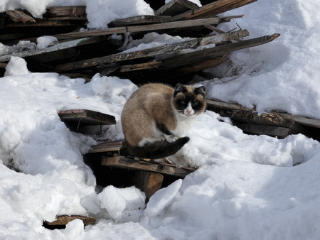 Siamese cat sitting on old broken boards among snow. Homeless animal and heap of wooden planks.