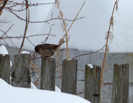 Lonely sparrow (Passer domesticus) sitting on wooden fence. Cloudy winter day, lot of snow and naked branches around. Wild bird in the town.