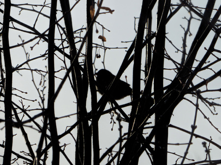 Blurred bird silhouette among dark branches. Chubby little bird sitting on naked winter tree.