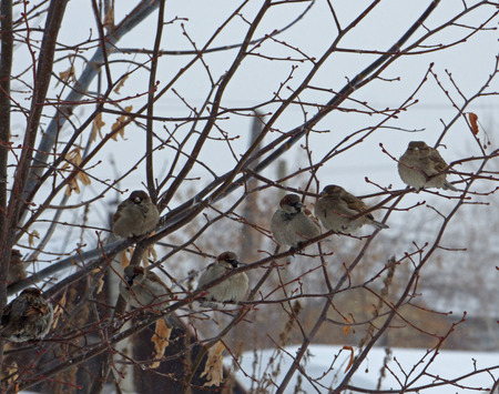 Flock of house sparrows (Passer domesticus) hiding among branches. Gray sky at the back. Chubby little birds sitting on naked tree. Cloudy winter day.