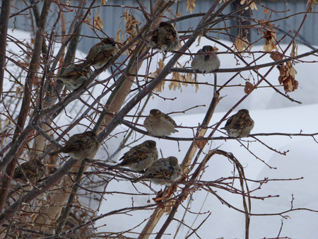 Flock of house sparrows (Passer domesticus) hiding among branches. Lot of snow behind. Chubby little birds sitting on naked tree. Cloudy winter day. Stok Fotoğraf