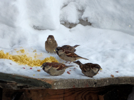 Flock of house sparrows (Passer domesticus) eating grains. Brown little birds searching corns in the snow on aged wooden board. Sunny winter day.