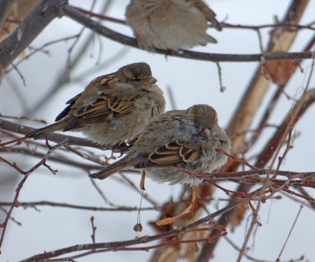 Two house sparrows (Passer domesticus) hiding among branches. Chubby little bird sitting on naked tree. Cloudy winter day. Stok Fotoğraf
