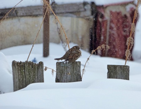 Lonely poor sparrow (Passer domesticus) sitting on wooden fence. Cloudy winter day, lot of snow and naked branches around. Wild bird in the town.