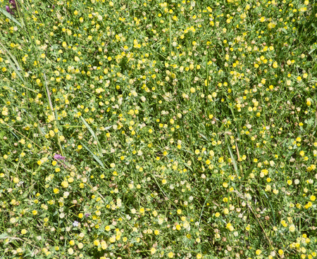 Lot of small yellow flowers between grass. Nature green background. Closeup view of meadow. Stok Fotoğraf
